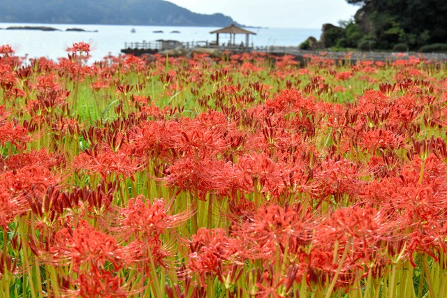 高知·土佐清水彼岸花盛開 鮮紅花海如同岸邊絨毯