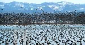 為長途旅行做準備 6萬隻白額雁群聚北海道宮島沼澤(影片)