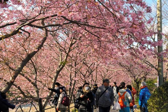 靜岡‧河津櫻花祭開幕首日即盛況空前 中國客卻呈驟減狀態