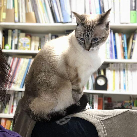椅子の上から飼い主の作業を見下ろすのがお気に入りの猫