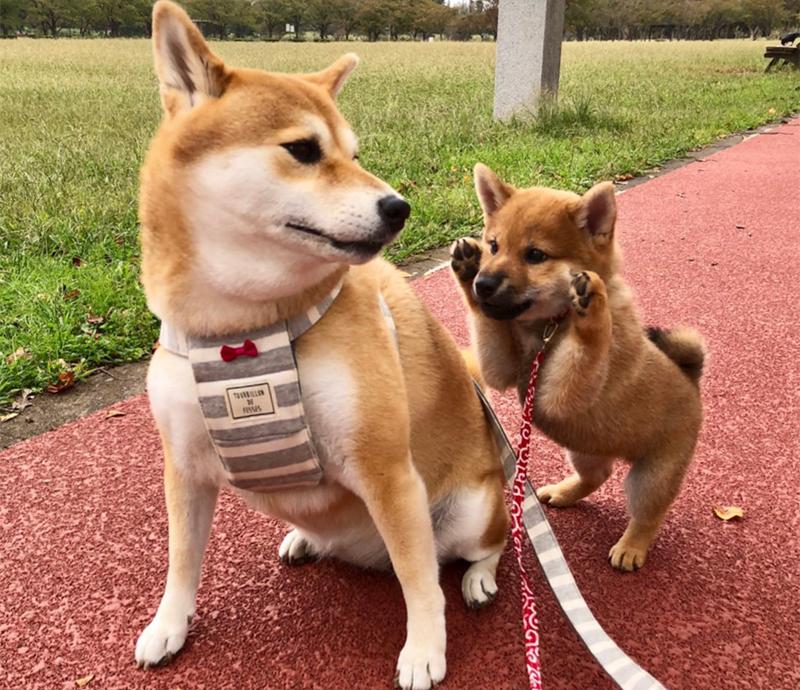 柴犬の柚子(左)と八朔