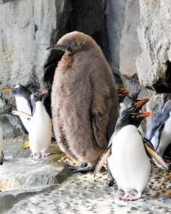 「裡面沒裝人?」 過於巨大的企鵝滿1歲了