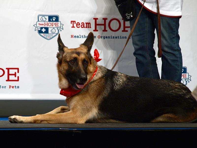 エクササイズのデモンストレーション犬、ジャーマンシェパード「ベルガ」