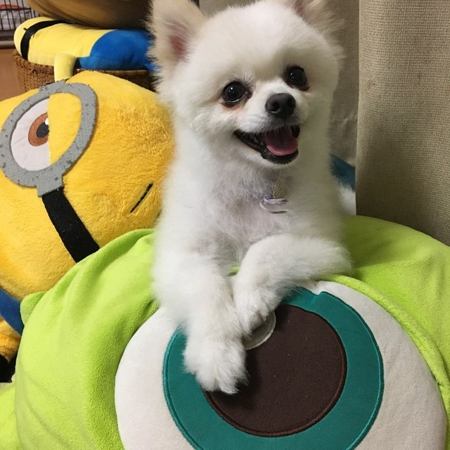 ポメラニアン 保護 犬