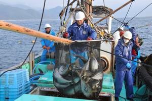 高知‧室戶岬鰤魚豐收的春天到來 漁獲豐收振奮人心(影片)