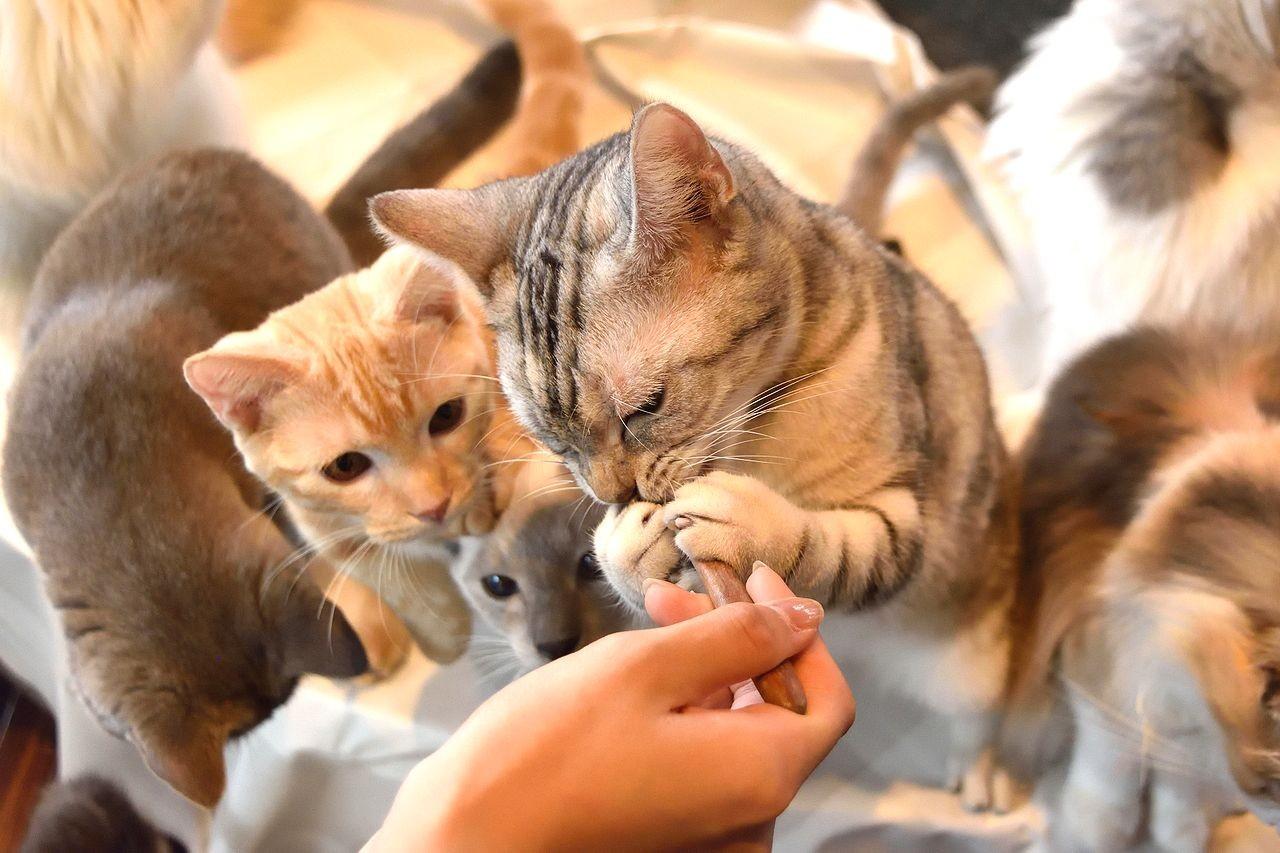 「猫キャスト」をモフる 癒しを求める「おひとり様専門店」も…<猫カフェ編>
