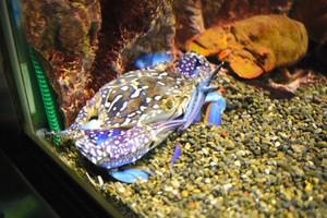仔細一看發現有3隻螯 稀有螃蟹於三重·志摩海洋公園展示中