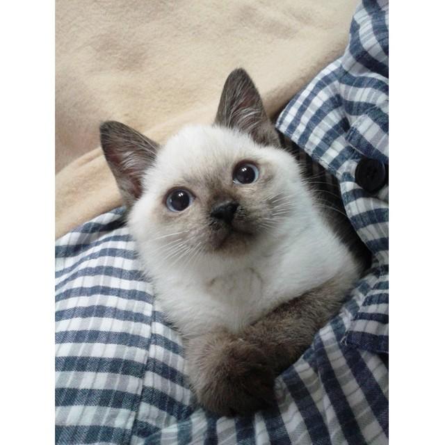 シャム 猫 子猫 シャム(サイアミーズ)の子猫を探す|専門ブリーダー直販の子猫販売【...