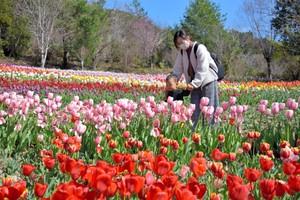高知‧莫內庭園內3萬4千株鬱金香盛開 重現名畫美景(影片)