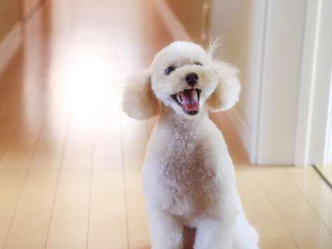 Resultado de imagen para Poodles    犬 包む