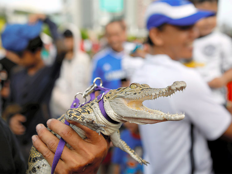 A man holds a one-year-old pet crocodile during a gathering of a reptile lovers club during car-free day in central Jakarta, Indonesia December 10, 2017. REUTERS/Darren Whiteside