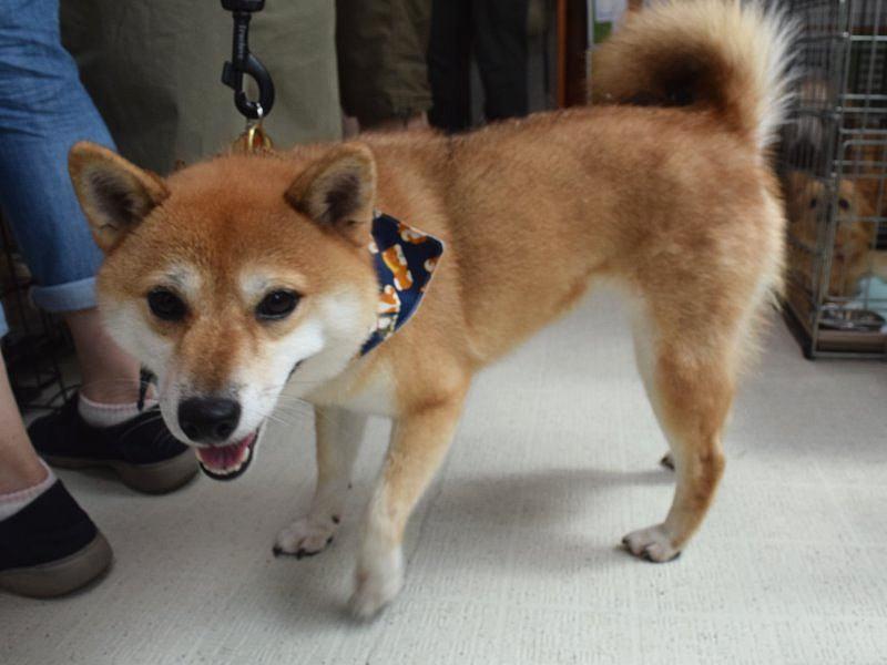 譲渡会で紹介されていた柴犬=アニマルハートレスキューで