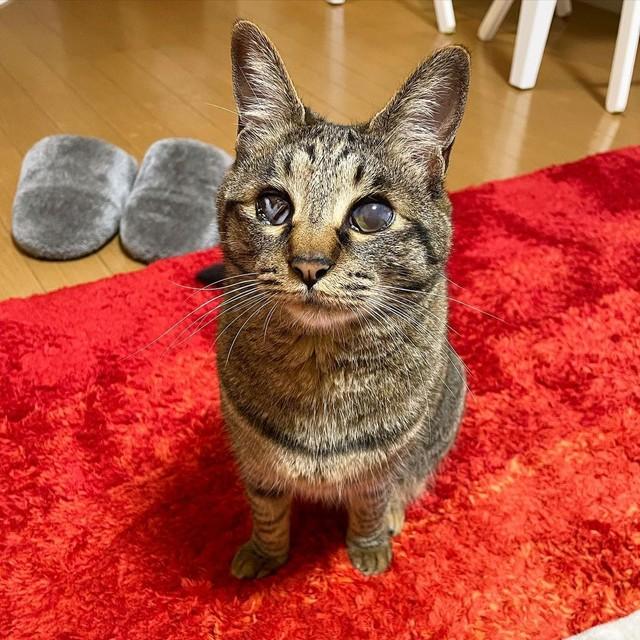 て 猫 くる 見つめ 猫がじっと私の顔を見つめてくるときがあります。よく行く猫カフェ