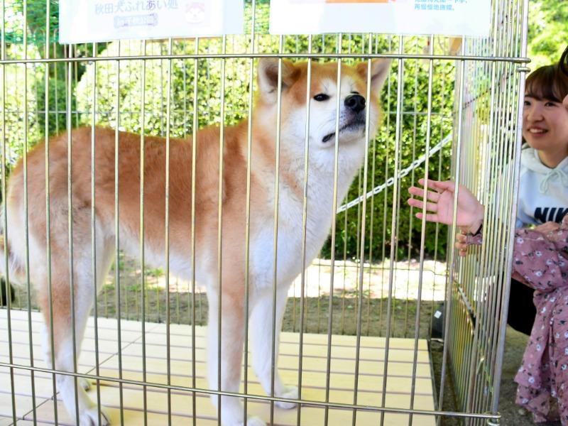 「ふれあい処」に勤務する秋田犬の花娘=秋田市の千秋公園