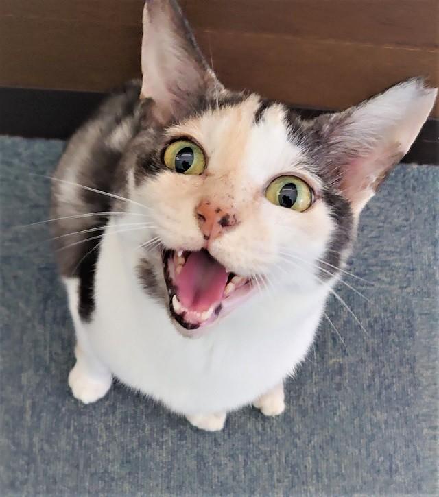 猫 甲状腺 機能 亢進 症