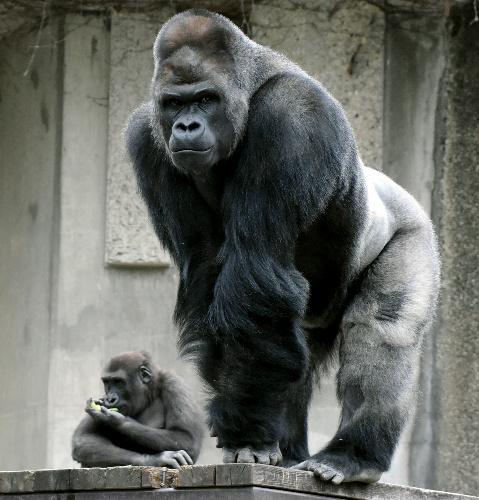 子猿とイケメンゴリラ・シャバーニ