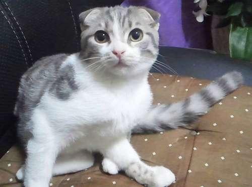 一目ぼれのスコティッシュは、先天性疾患だった! 人気猫種の闇